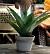 Konstväxt Aloe Vera med yviga taggkantade blad.