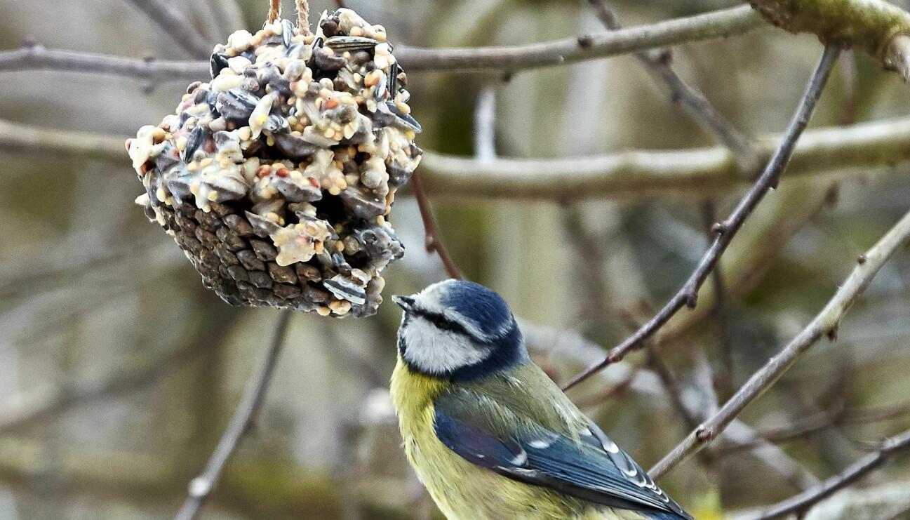 En blåmes äter hemmagjorda fröbollar i ett träd.