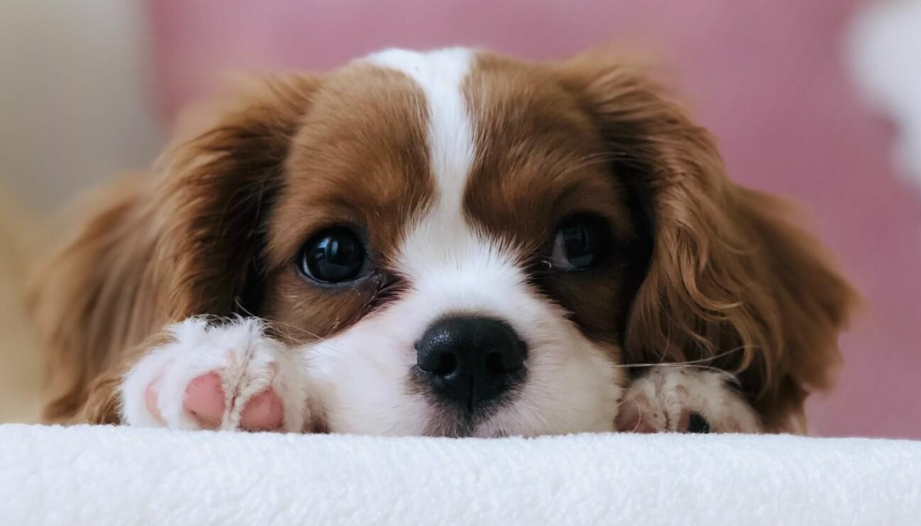 En hundvalp ligger och myser på en fäll.