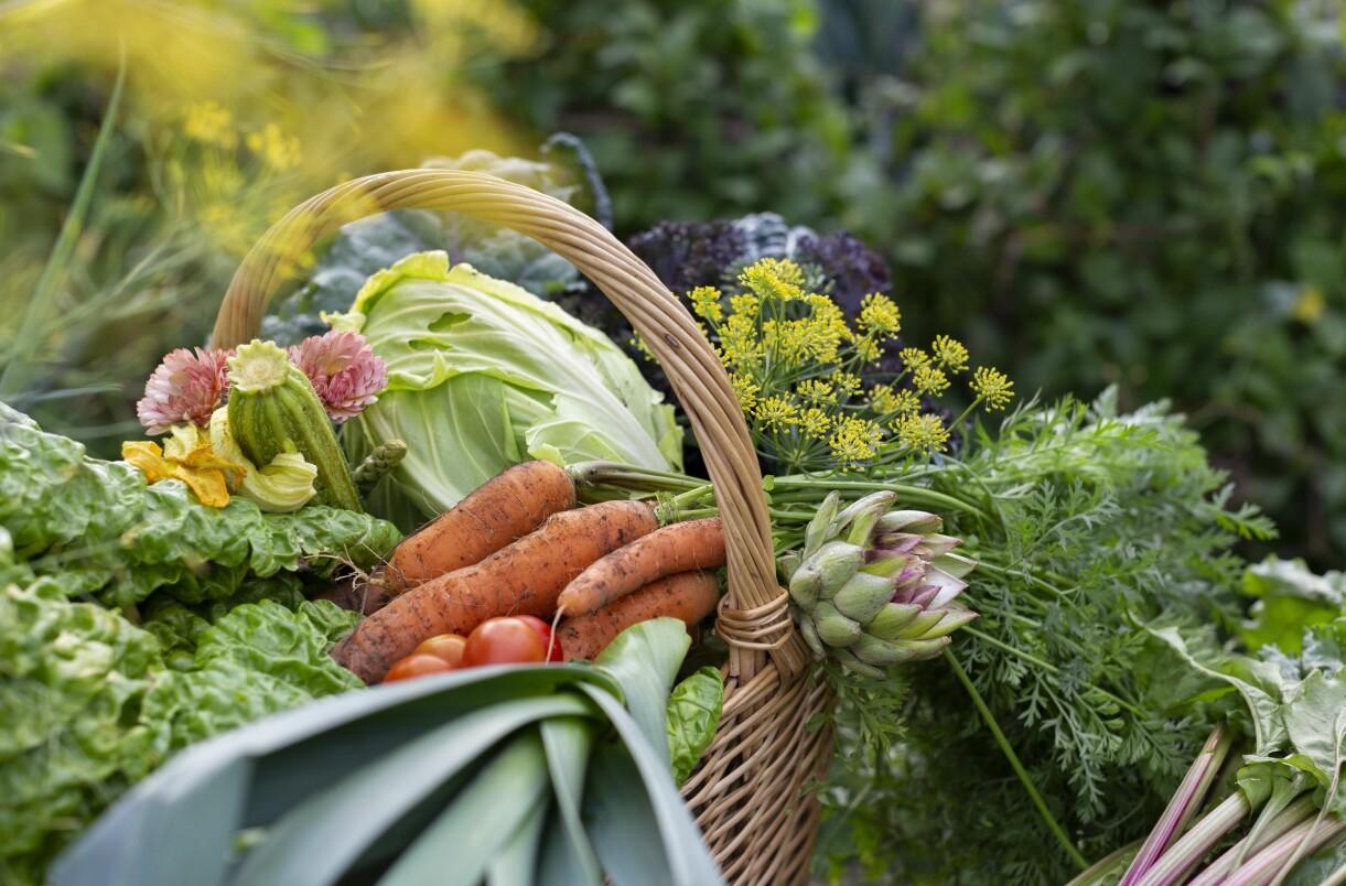 En korg med nyskördade grönsaker från Sara Bäckmos trädgård, Skillnadens trädgård.