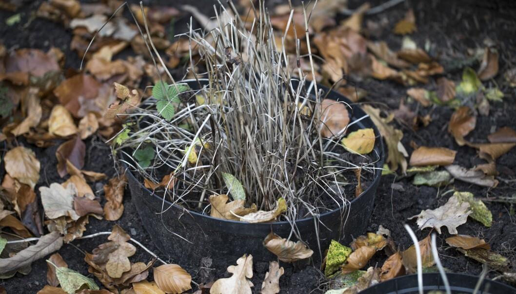 En nedgrävd kruka gör så att växterna klarar kölden i vinter bättre.