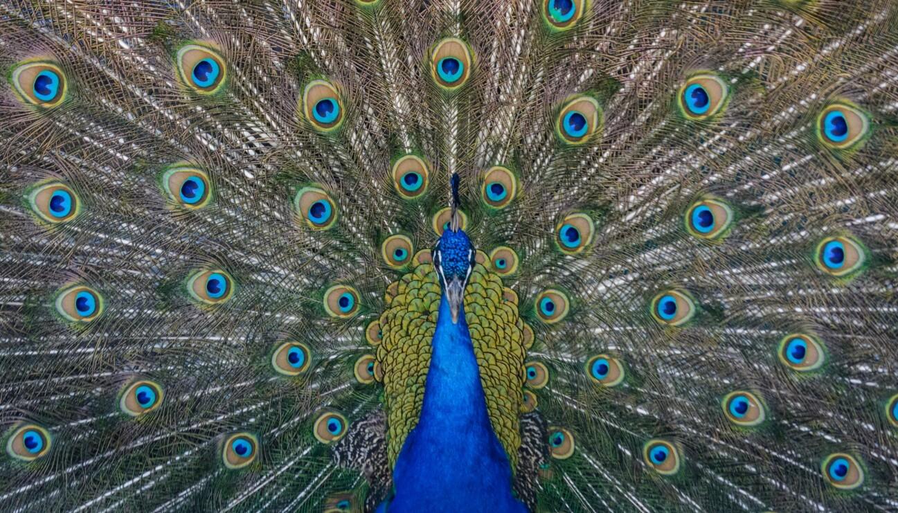 En påfågel breder ut sina fjädrar.
