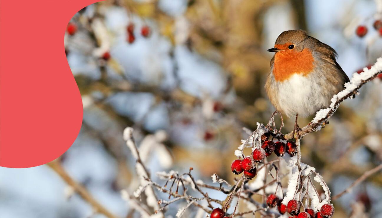 En rödhake vilar på en gren med röda bär.