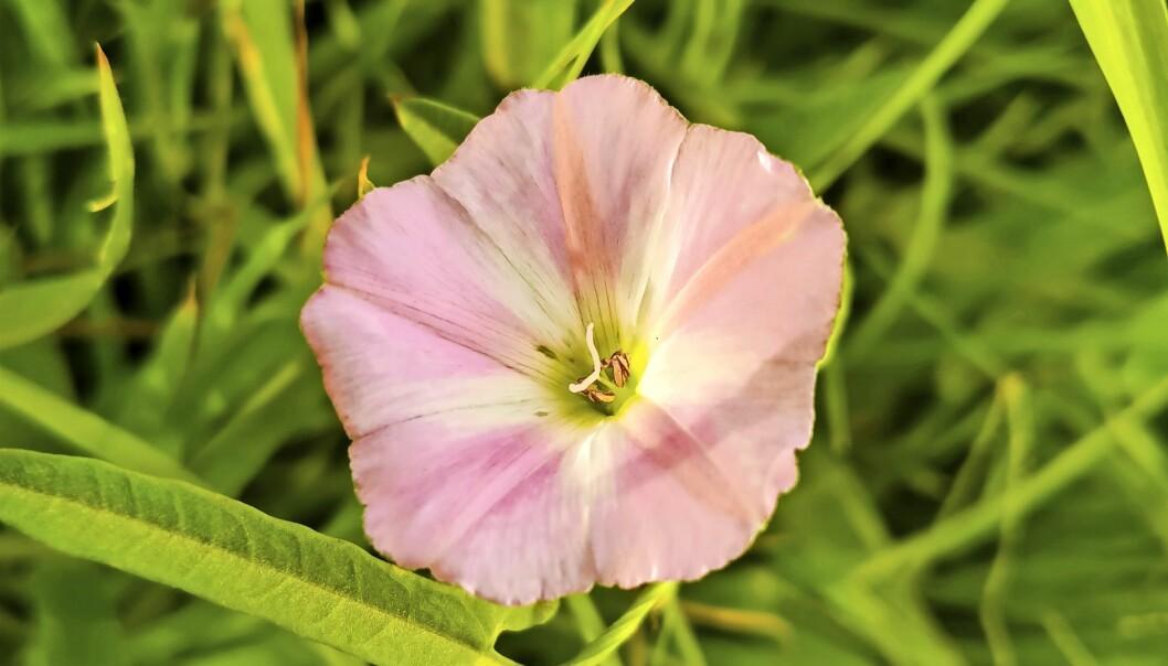 En vacker blomma från en nybliven trädgårdsfantasts trädgård.