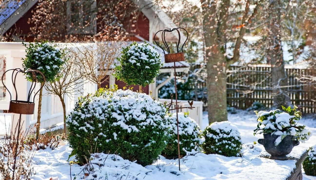 En vacker vinterträdgård med snötäckta buskar och träd.