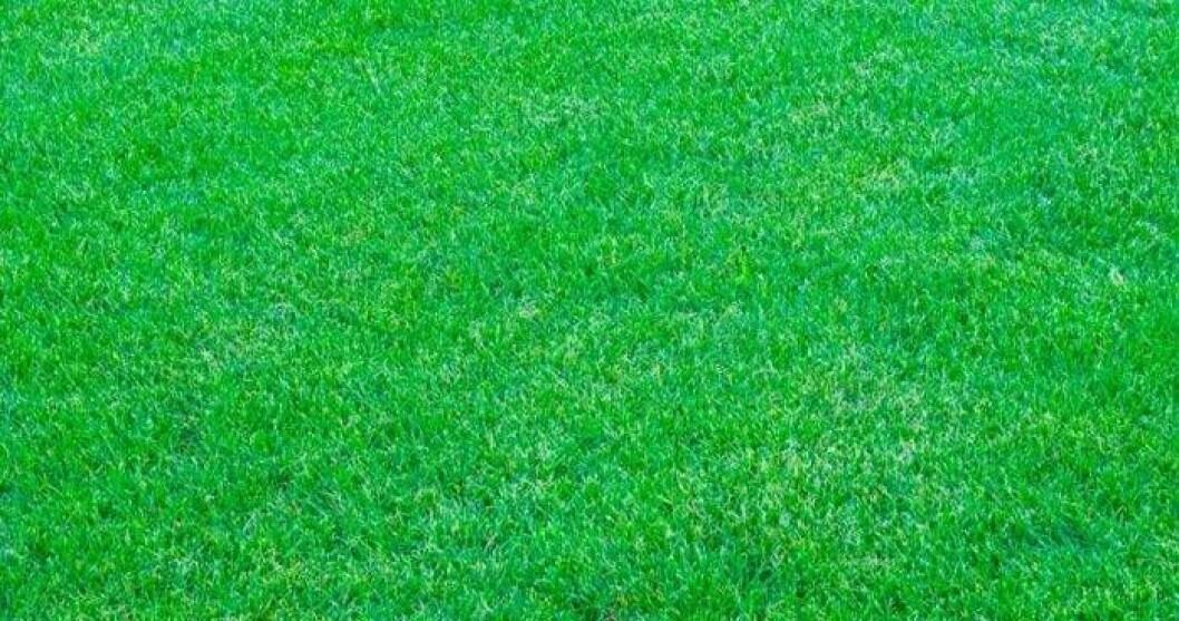 En gräsmatta som blivit bevattnad behåller sin gröna färg i torkan i augusti 2018.