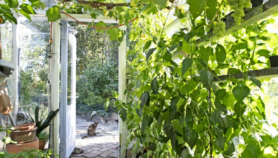 Ett växthus med gröna vinrankor. Utanför sitter en katt.