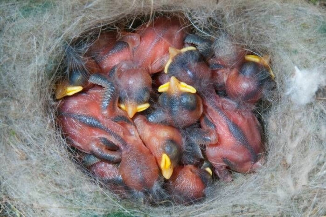 Fågelungar så unga som tio dagar är skickliga på att reglera sin egen kroppsvärme