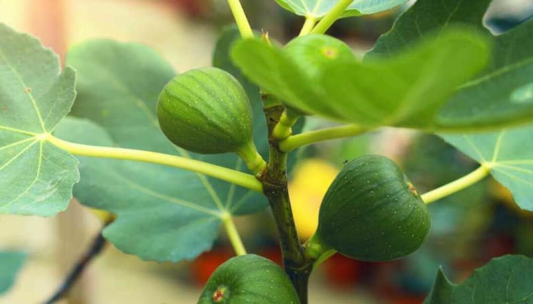 Så här tar du hand om ditt fikonträd på vintern.