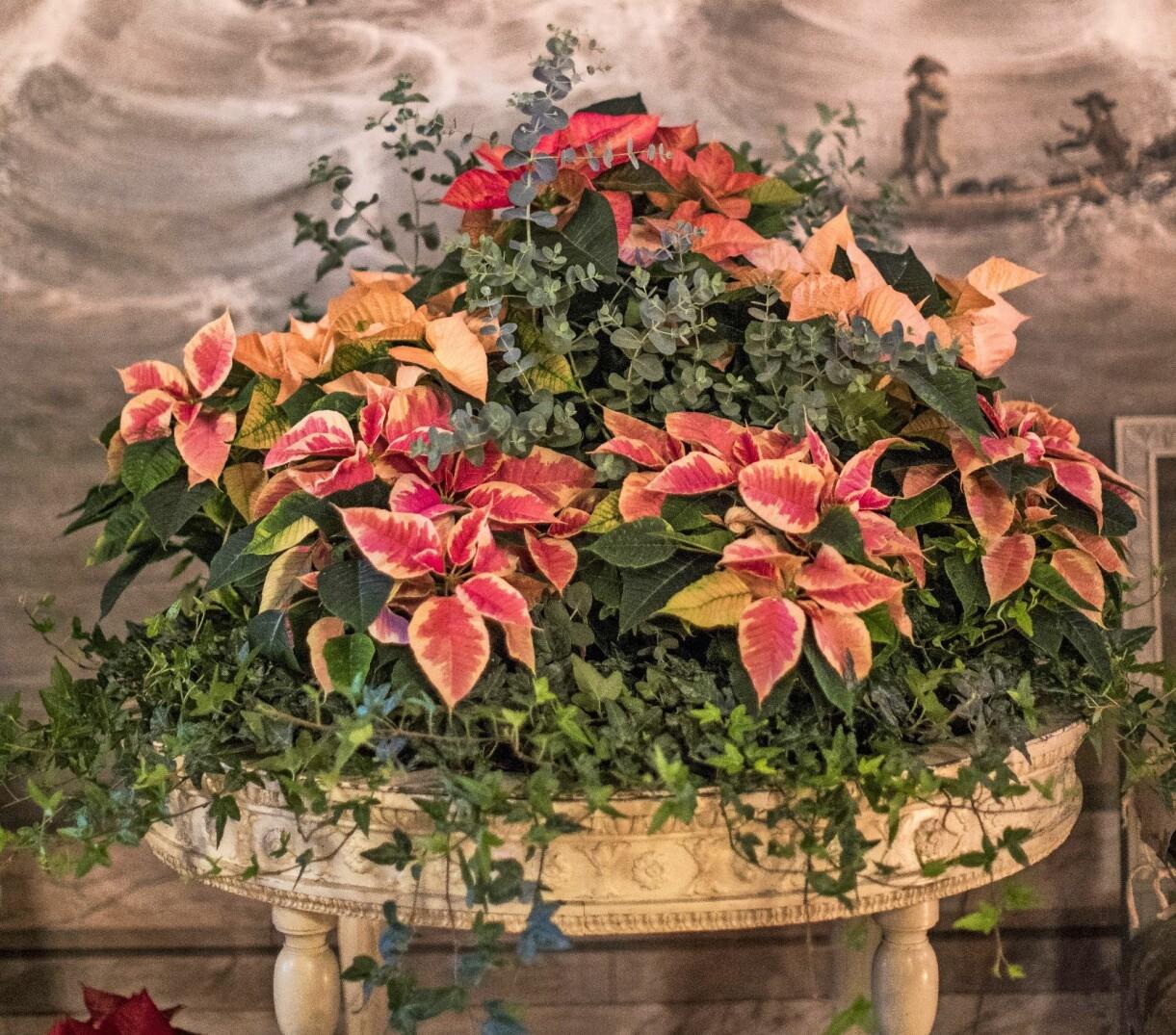 Flera olika sorters julstjärnor, samplanterade med eukalyptus och murgröna.