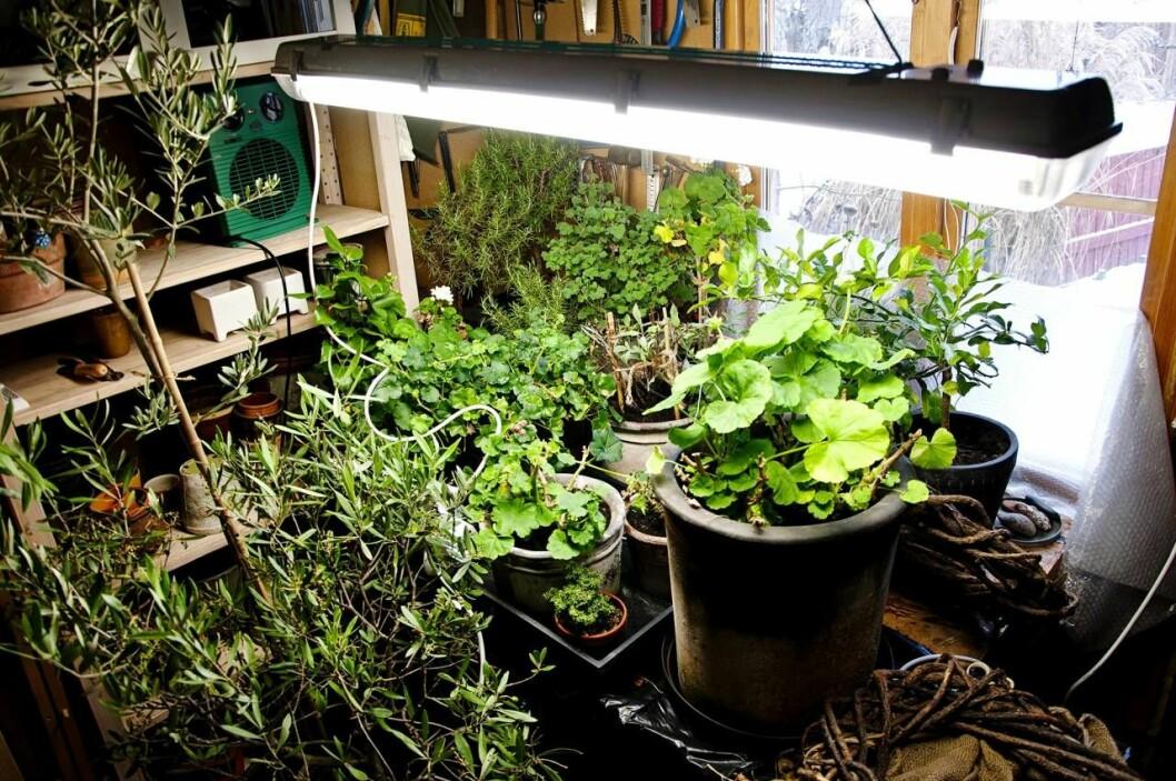Frostfri förvaring för växter