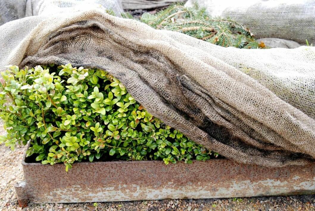 Gröna växter skyddade av tyg för att undvika skador av vårsolen