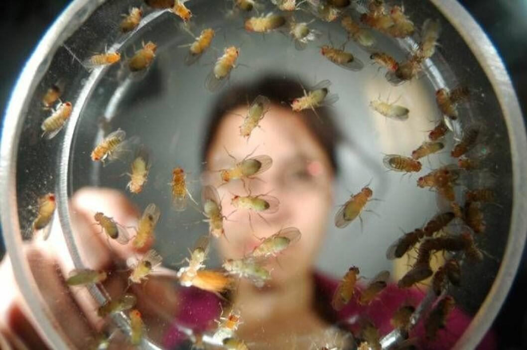 Forskar på bananflugor.