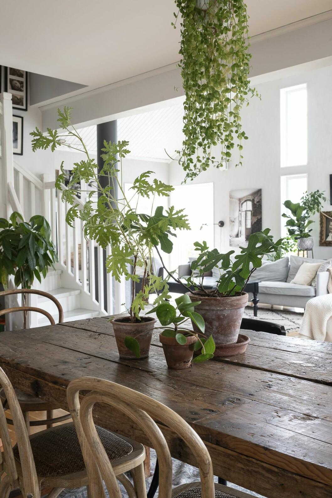 Det är läckert att låta gröna växter hänga ner från taket, här en linpeperomia.