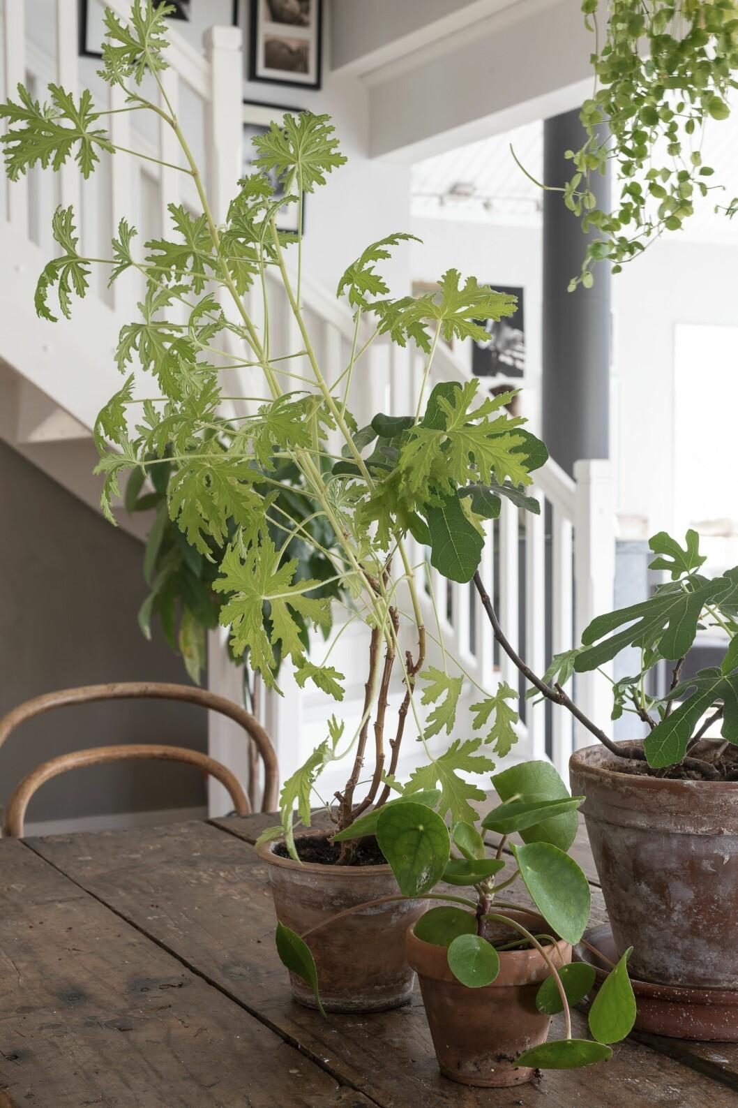 Ett trevligt tips är att gruppera några gröna krukväxter på bordet. Pelargonen Dr Westerlund, elefantöra och ett fikonträd bildar en fin trio.