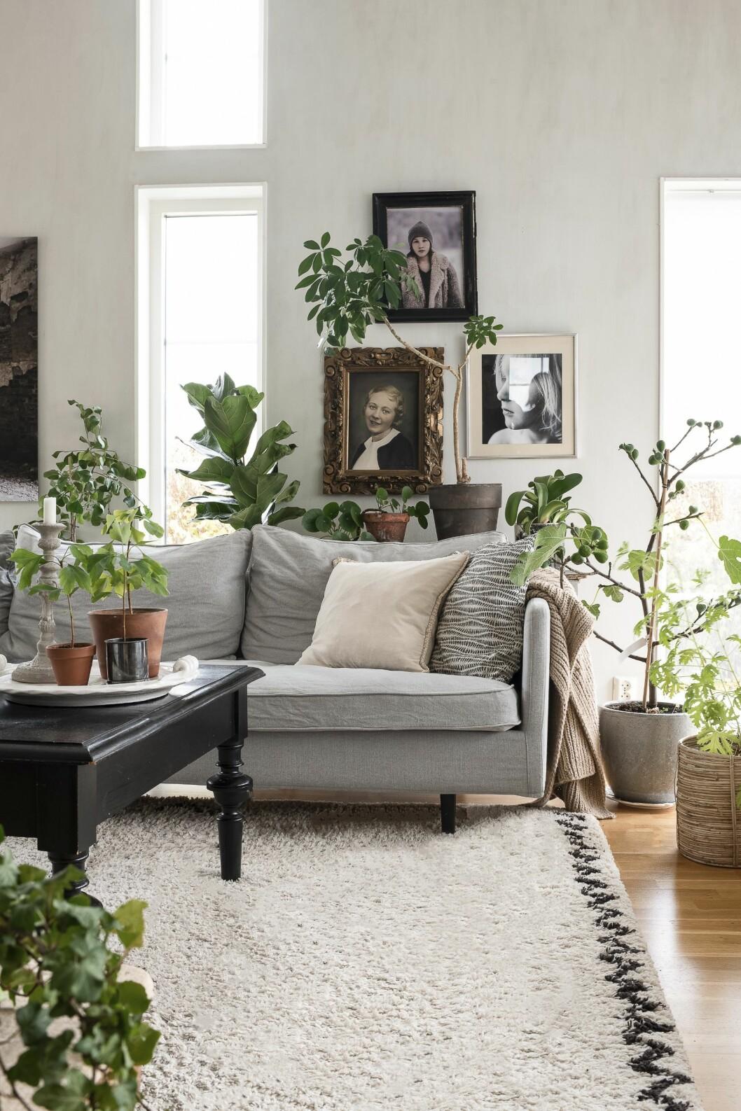 Hur fint är det inte att inreda med maffiga växter som får ta plats? Gör ditt hem till en lummig oas genom att lyxa till med mycket grönt. Använd gärna piedestaler och sidobord i olika höjder för att skapa volym med växter. Den storbladiga växten på bordet i bakgrunden är en fiolfikus.