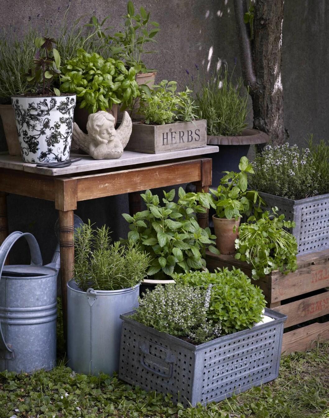 Härlig kryddträdgård i krukor på balkong eller terras.