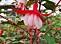 Fuchsia 'Alice Hoffman'