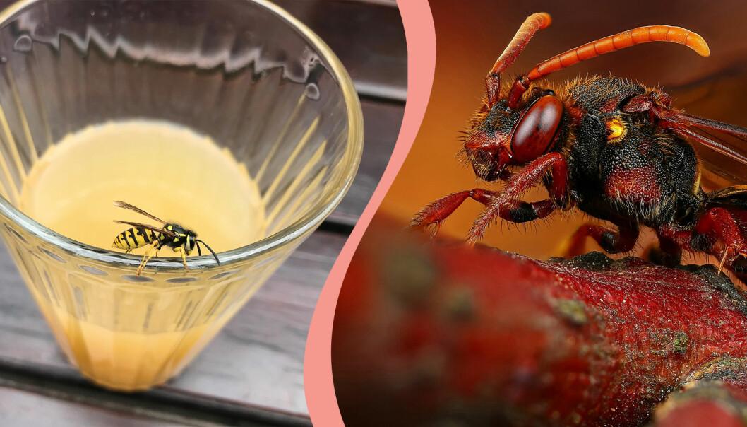 Getingar dras till söta drycker så titta gärna till glaskanten innan du tar dig en klunk i sommarvärmen
