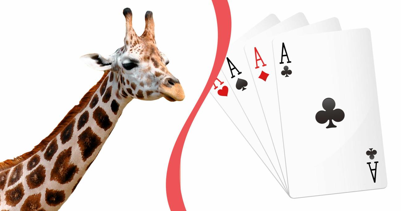 Giraff och kortlek
