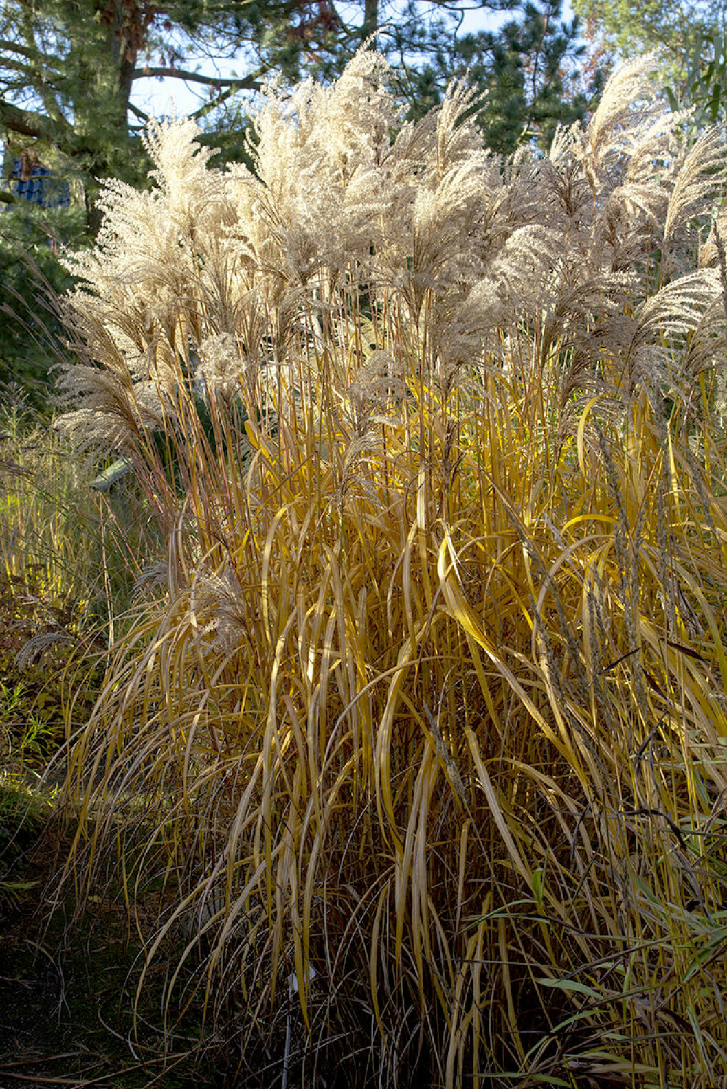 Glansmiskantus, Miscanthus sinensis, 'Malepartus' blir upp till två meter högt. De vackra axen står fint hela vintern. De slår ut i början av september och övergår från rött till gyllene toner.