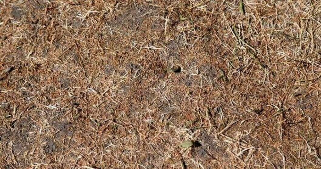 Gräsmattan kan överleva torkan 2018 enligt John Taylor