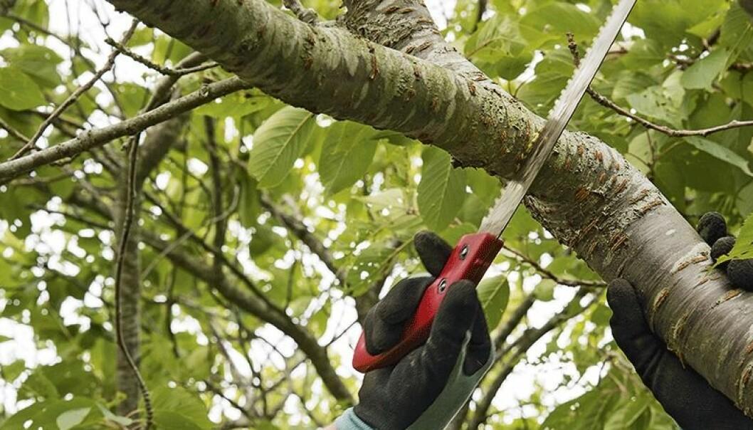 Såga av kraftiga grenar – så här gör du!