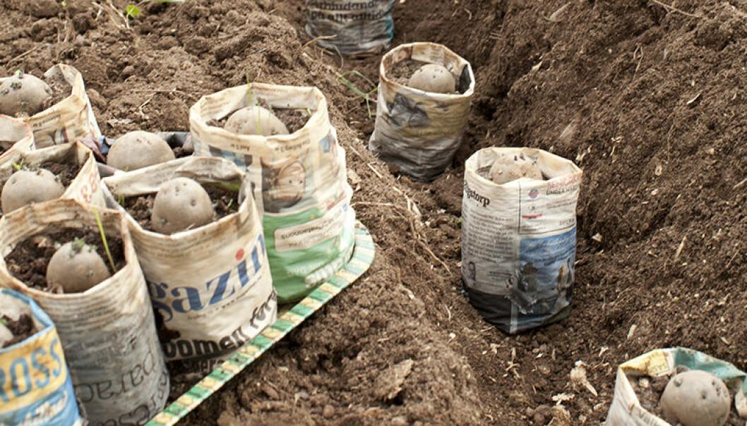 Plantera hela papperskrukorna i trädgårdslandet.