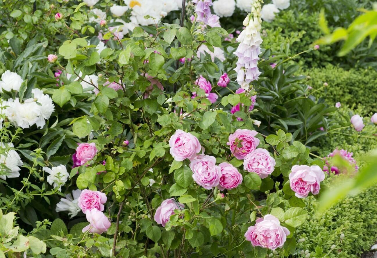 En grön stomme ger ett behagligt lugn och framhäver blommorna – rosor, pioner, nävor och fingerborgsblommor.