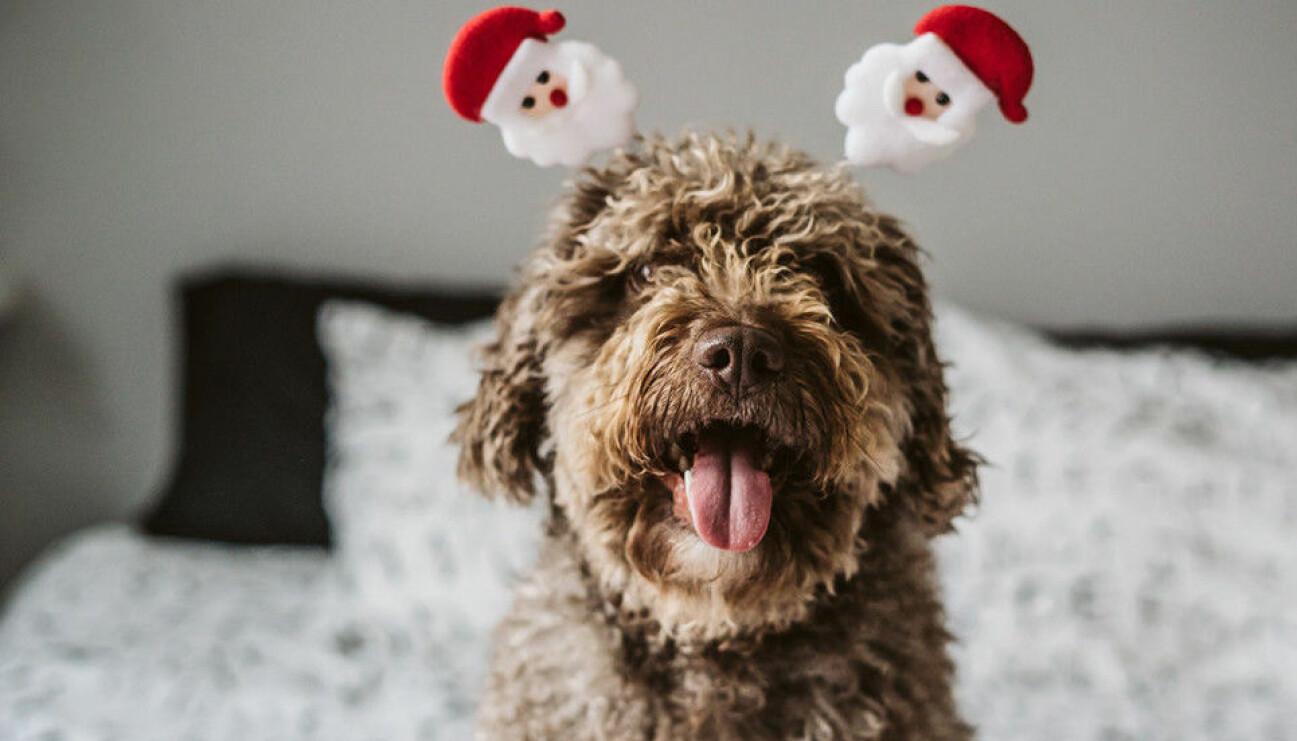 Gullig hund med tomtediadem.