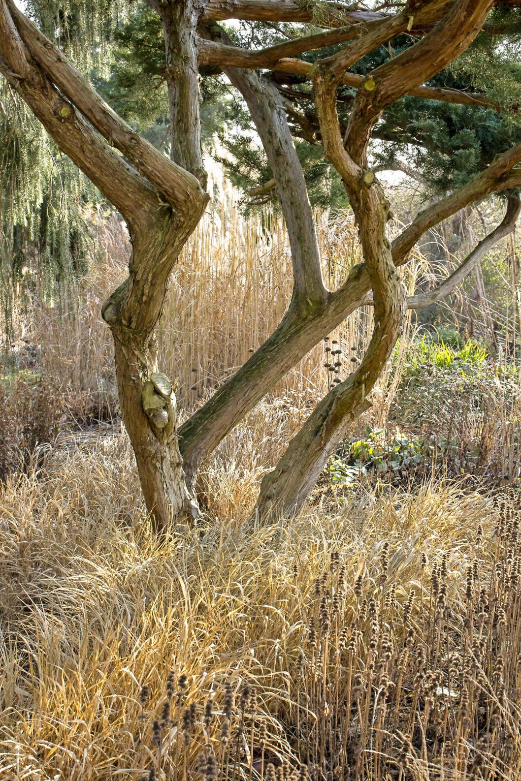 Hakonegräset, Hakonechloa macra, har täckt marken runt trädet. Gräsets bambuliknande blad bildar kompakta tuvor och får rödbruna toner under vintern. Med ax kan det bli upp till en meter högt. Trivs bäst i halvskugga och inte alltför torr jord.