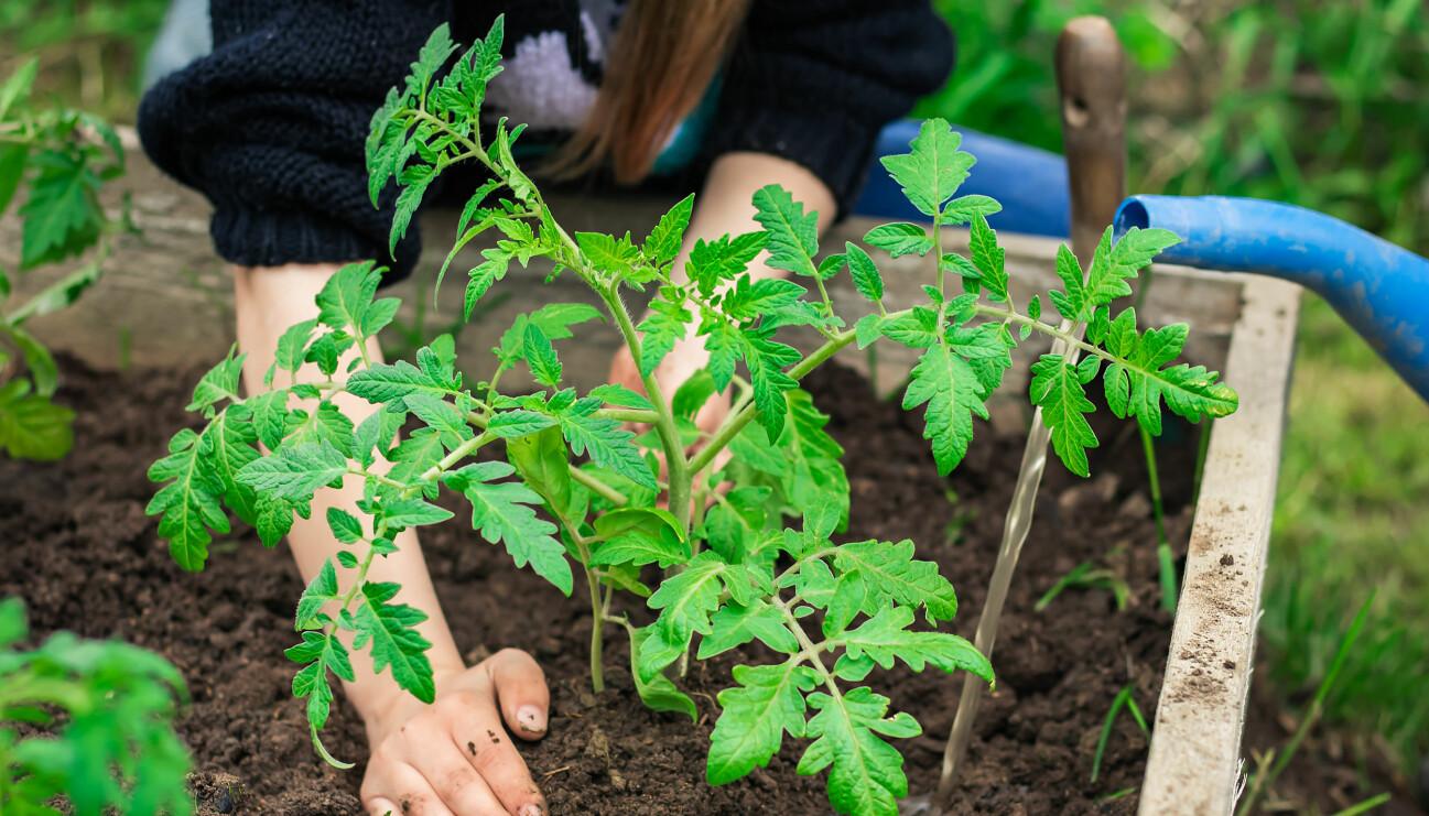 Tomatplantor behöver avhärdas innan plantering.