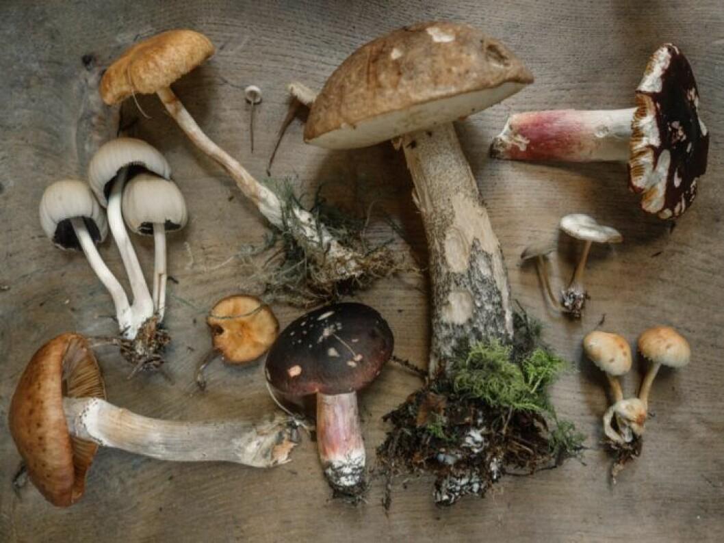 Vilka svampar är giftiga?