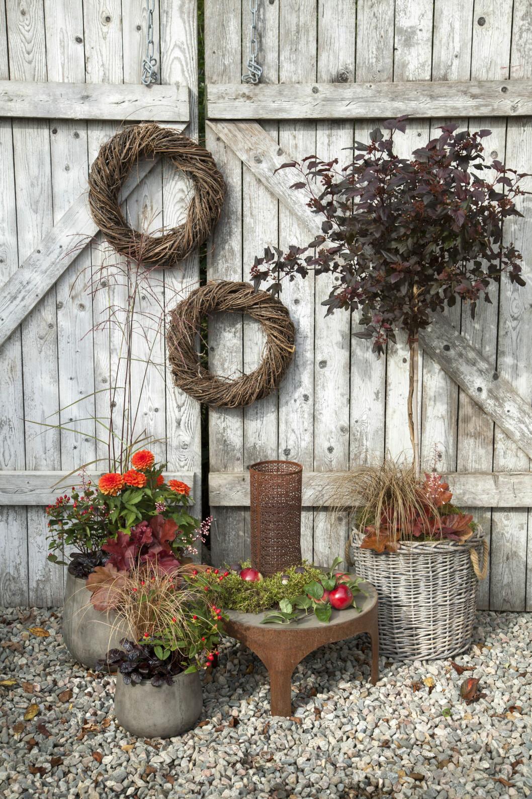 Höstkransar, höstkrukor och smällspirea på stam mot en trädörr i höstträdgården.