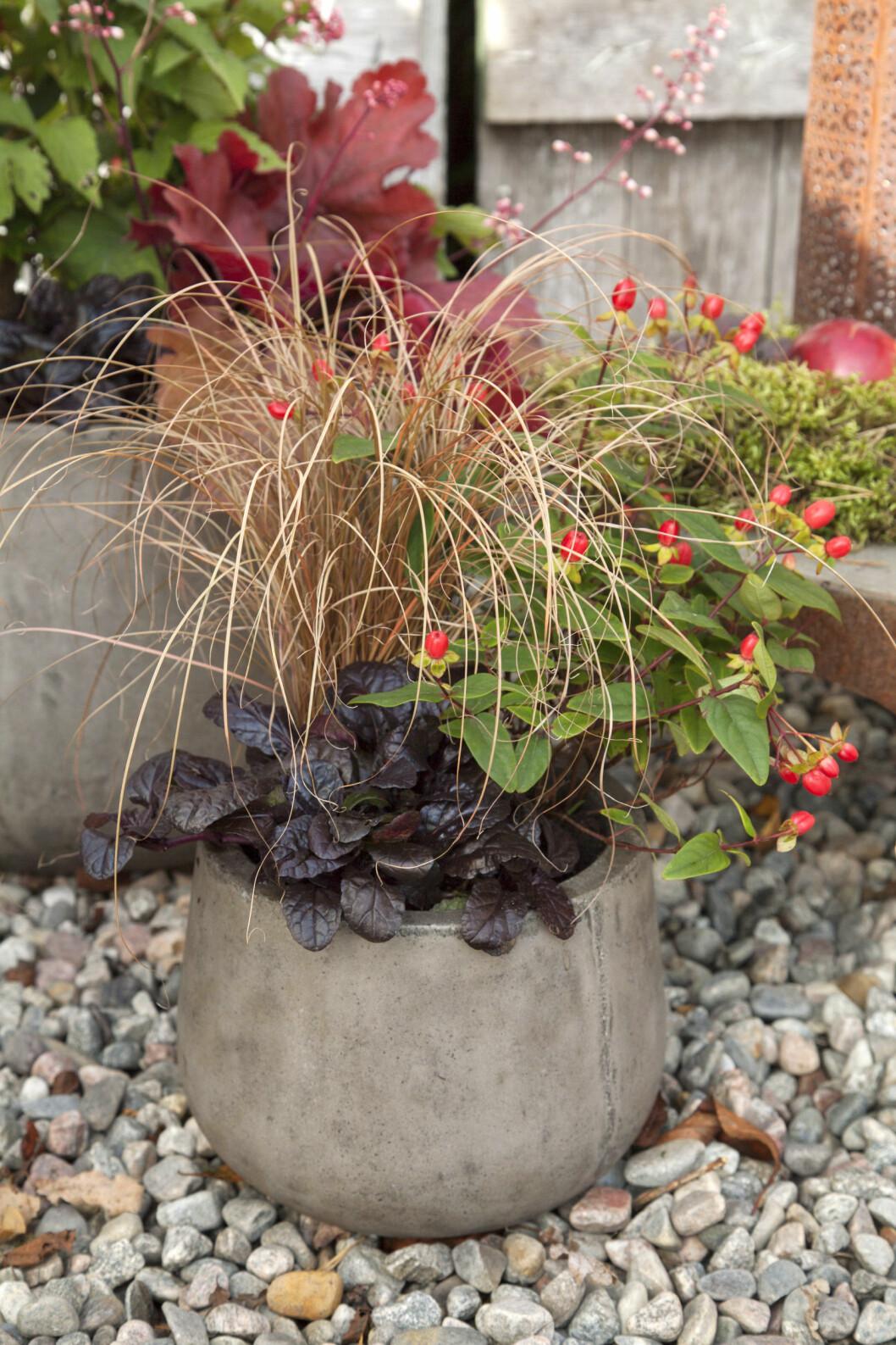Revsugan 'Braunherz' mörka blad täcker jorden och bildar bas för bronsstarr och bärhyperikum.
