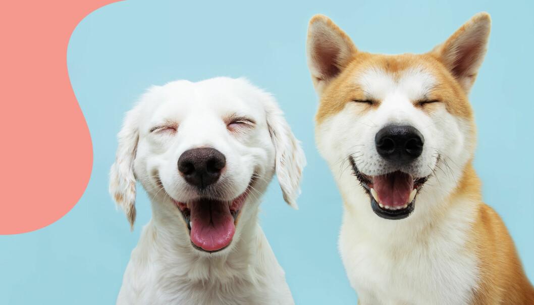 Två glada hundar poserar framför kameran.
