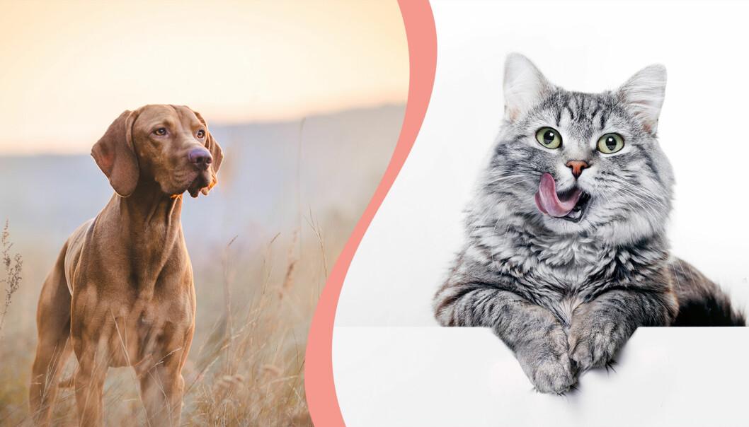 Till vänster, en hund ute i naturen, till höger en katt som slickar sig runt munnen.