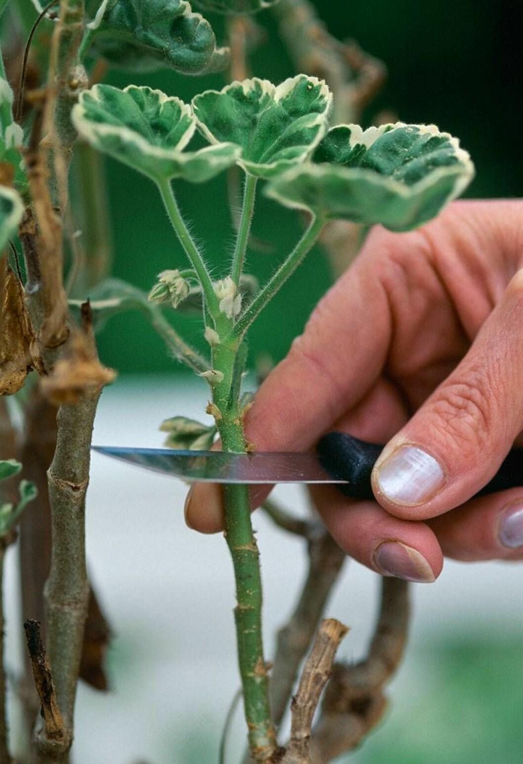 Stickling tas från en växt