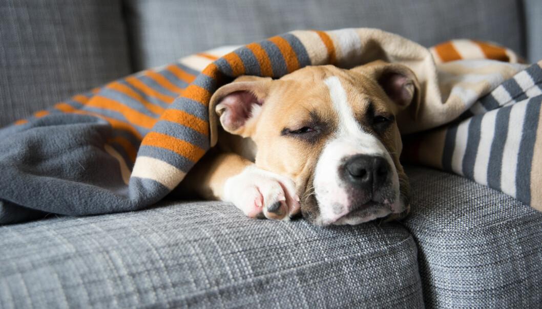 Hjälp din sjuka hund med enkla huskurer.