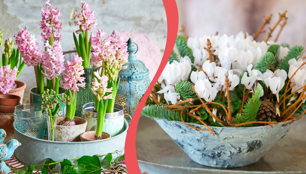 Hyacint och cyklamen kan planteras ut efter julen.