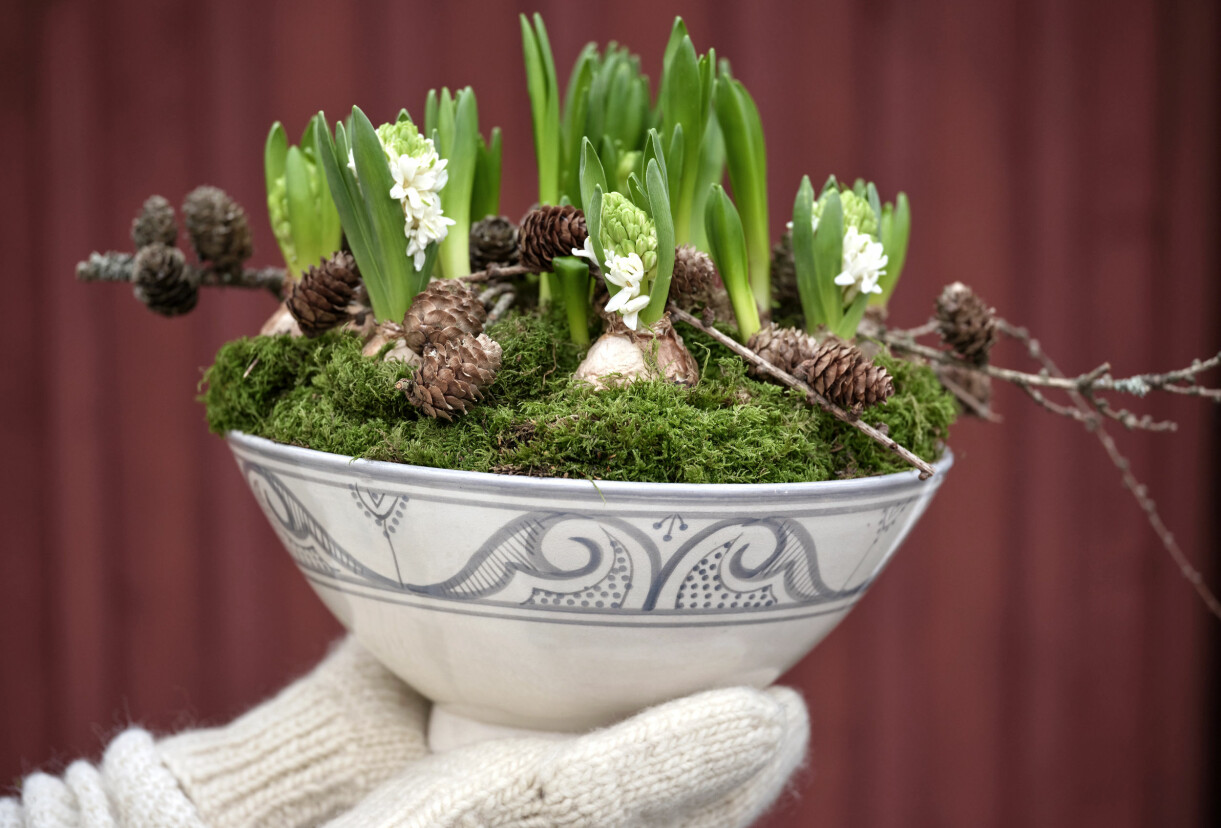 Hyacint planterad med mossa och kottar i en gammal skål.