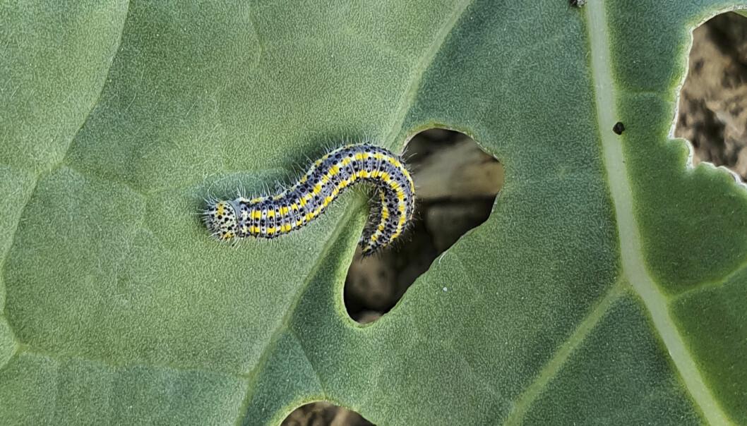 En larv äter igenom ett blad.
