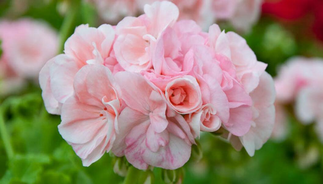 Pelargoner blomning – så ger du blomman bästa chans