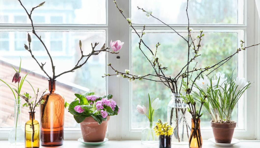 Driv fram kvistar – och få en skön genväg till våren!