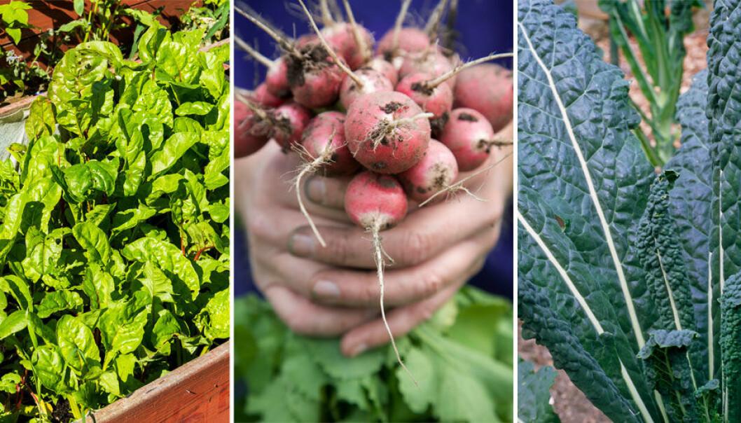 Köksträdgård eller grönsaksland, tips från experter, odla