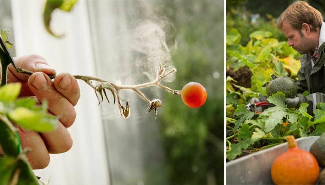 Undvik mögel på tomaterna med Henrik Hanells smarta tips.