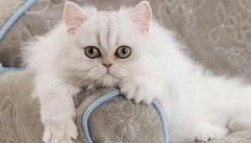 få bort kattkiss lukt från kläder