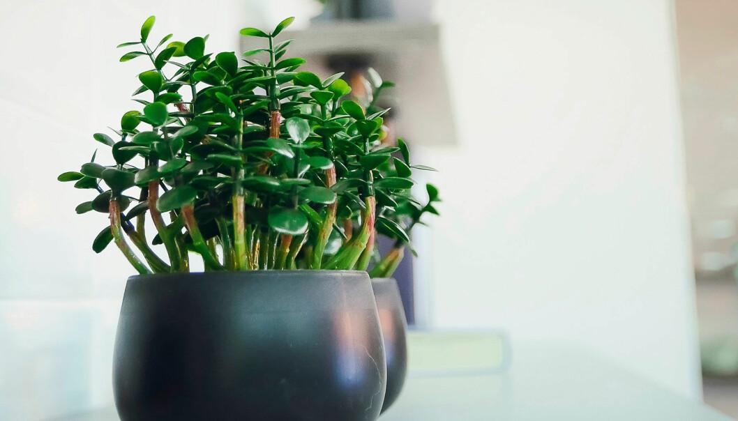 Här är krukväxterna som ger bättre luft i hemmet.