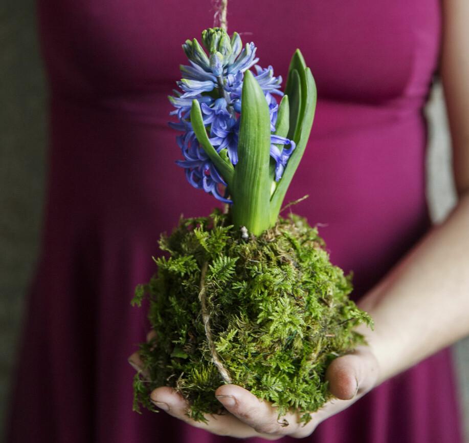 Blå hyacintboll.