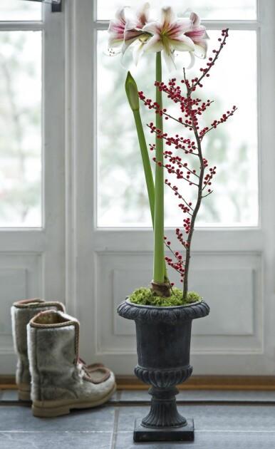 Lång amaryllis planterad i urna.